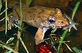 Crab-eating Frog (Fejervarya cancrivora) (14136245104).jpg