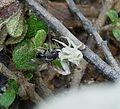 Crab Spider with prey. (Thomisus onustus), - Flickr - gailhampshire.jpg