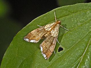 <i>Agrotera</i> (moth) Genus of moths