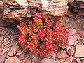 Crassula rupestris-PICT3087.jpg