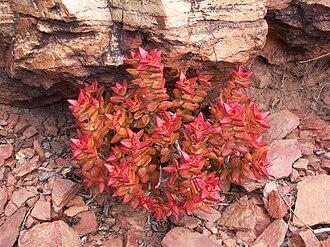 Decussation - Decussate phyllotaxis of Crassula rupestris