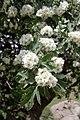Crataegus pontica (Rosaceae) (33135111846).jpg