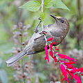 Crescent Honeyeater female.jpg