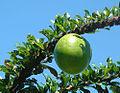 Crescentia cujete, known as Calabash (Totumo) in Panama.jpg