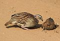 Crested Francolin, Dendroperdix sephaena, feeding in dung at Pilanesberg National Park, Northwest Province, South Africa (29824264266).jpg