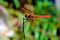 Crimson Marsh Glider (Trithemis aurora) - Male.jpg