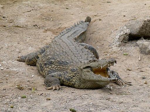 Crocodylus - Crocodile - Krokodil - 01