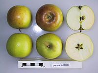 Cross section of Cabusse, National Fruit Collection (acc. 1950-155).jpg