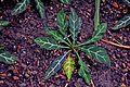 Crossandra pungens in Tropengewächshäuser des Botanischen Gartens 02.jpg