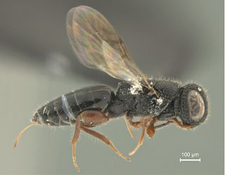 Megalyridae family of insects