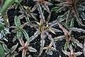 Cryptanthus bivittatus 2zz.jpg
