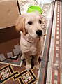 Cucciola di tre mesi di Golden retriever - Vigevano.jpg