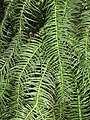 Cunninghamia lanceolata 02.JPG