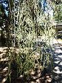 Cupressus funebris - UC Davis Arboretum - DSC03396.JPG