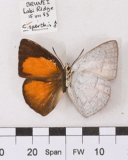 <i>Curetis sperthis</i> species of insect