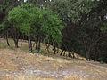 Curico, Condell arboles (12646389275).jpg