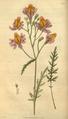 Curtis's Botanical Magazine, Plate 3045 (Volume 58, 1831).png