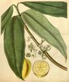 Curtis's Botanical Magazine, Plate 3088 (Volume 58, 1831).png