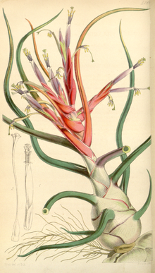 Curtis's Botanical Magazine, Plate 4288 (Volume 73, 1847).png