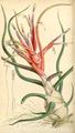 Curtis's Botanical Magazine, Plate 4288 (Volume 73, 1847).png