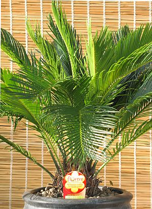 Cycas revoluta in clay flowerpot equipped by F...