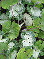Cyclamen hederifolium white variegated (13464757144).jpg