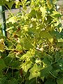 Cyclanthera explodens Cyclanthera brachystachya HabitusFlowerFruits BotGardBln0906a.JPG