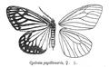 CyclosiaPapilionaris.png