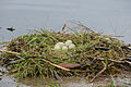 Cygnus olor, nests with eggs, Höckerschwan mit Nest 2.JPG