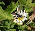 Cylindromyia species. Tachinidae (31010341998).jpg