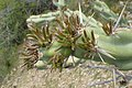 Cylindropuntia acanthocarpa, Staghorn Cholla, Sonoran Desert, Late Winter 2013 - panoramio.jpg