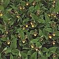 Cypripedium parviflorum (13082420843).jpg