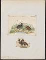 Cyrtonyx massena - 1700-1880 - Print - Iconographia Zoologica - Special Collections University of Amsterdam - UBA01 IZ17100213.tif