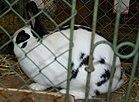 Czech spotted rabbit 2.jpg