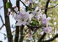 Dülmen, Blüte des Apfelbaums -Dülmener Rose- -- 2014 -- 18.jpg