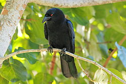 DR White-necked Crow ed2.JPG