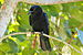White-necked Crow - Photo (c) ZankaM, some rights reserved (CC BY-SA)
