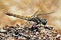 DSC 1861 Yusufcuk (Dragonfly) - panoramio.jpg