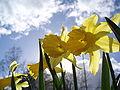 Daffodil Narcis.JPG