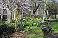 Daffodils^ = Spring^ Bushy Park, Greater London. - panoramio.jpg