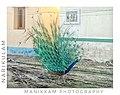 Dancing peacock 2.jpg