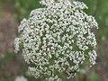 Daucus carota - flower (18840294035).jpg