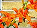 Daylilies against Wall (5919496315).jpg