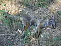 Dead fox, Villeneuve Loubet, France.JPG
