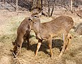 Deer, The Magnetic Hill Zoo, Moncton, New Brunswick, Canada (39567423365).jpg