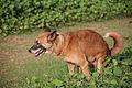 Defecate brown dog Sri Lanka.jpg