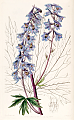 Delphinium elatum var. palmatifidum as Delphinium intermedium var. palmatifidum by S. A. Drake. Edwards's Botanical Register vol. 24, t. 38 (1838).tif