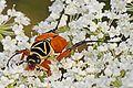 Delta Flower Scarab - Trigonopeltastes delta, Julie Metz Wetlands, Va.jpg