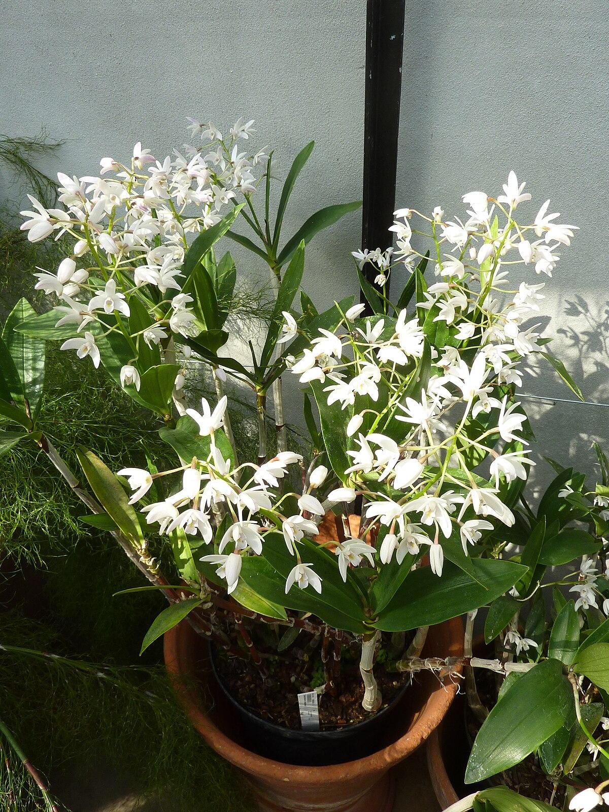 Dendrobium × delicatum - Wikimedia Commons