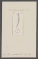 Dentalium decemcostatum - - Print - Iconographia Zoologica - Special Collections University of Amsterdam - UBAINV0274 081 10 0033.tif